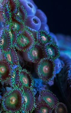 Soft coral polyps macro photo