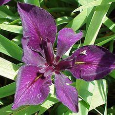 Iris 'Full Eclipse' - Louisiana Iris