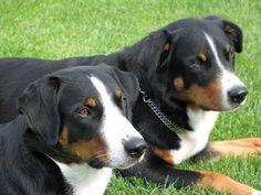 Appenzeller Sennenhund / Appenzeller / Appenzell Cattle Dog / Appenzeller Mountain Dog