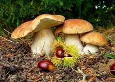 in the autumn forest Mushroom Art, Mushroom Fungi, Wild Mushrooms, Stuffed Mushrooms, Porcini Mushrooms, Slime Mould, Autumn Forest, Flowers Nature, Small World