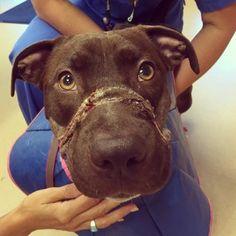 Caitlyn, abused South Carolina dog, to undergo surgery again.