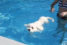 Yes, Bichons do love to swim!