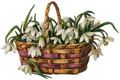 basket of snowdrops