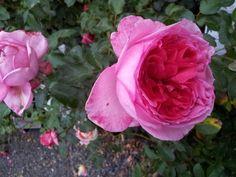 Rose Sales Online - PARFUM DE PARIS, $19.50 (http://www.rosesalesonline.com.au/parfum-de-paris/)