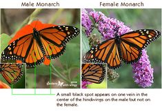 Learn the difference between the male and the female monarch butterfly. Monarch Butterfly Tattoo, Butterfly Facts, Monarch Butterfly Migration, Butterfly Life Cycle, Butterfly Tattoos, Butterfly Kisses, Pictures Of Monarch Butterflies, Beautiful Butterflies, Butterfly Identification