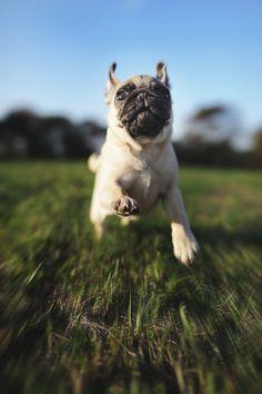 Run pug Run!