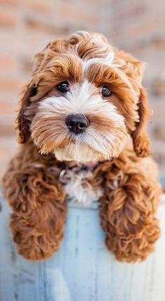 Tessa the Cockapoo Puppy