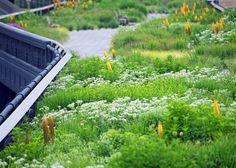 Parthenium integrifolium (Wild Quinine) flourishing in The High Line  _/\/\/\/\/\_