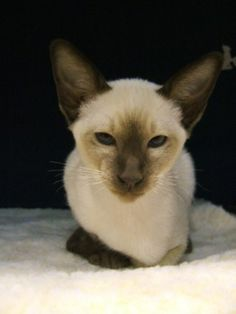 Siamese Kitten, looks just like my kittens did