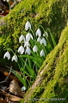 Snowdrops at Floors Castle