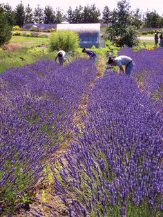 From SAVEUR Issue #140 In late afternoons in high summer, the fields of Whidbey Lavender Farm on Washington State's Whidbey Island give off a purple radiance, and the breeze of Puget Sound lifts the floral scent toward the cedar forest. So it is no wonder that the women writing poetry and fiction in the cottages of the nearby Hedgebrook writers' retreat come to walk among the lavender when their day's work is finished. That is how I came, by way of a deer trail, to the fields planted by M.C…