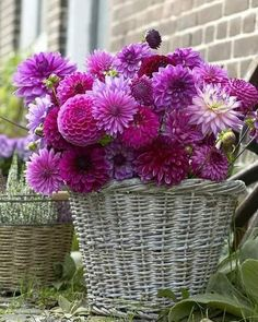 Hot pcs/bag Multi-color aster bonsai, Chinese chrysanthemum flower garden for home gaden plant High sprouting easy to g Chrysanthemum Flower, Dahlia Flower, Flower Pots, Fall Arrangements, Beautiful Flower Arrangements, Beautiful Flowers, Purple Dahlia, Purple Flowers, Flower Names