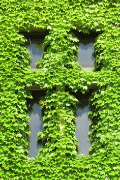 Swaying ivy on Marquette University's Marquette Hall.