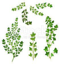 Resultado de imagem para margens galhos de folhas Thyme Herb, Fresh Thyme, Ivy Leaf, Flower Art, Herbs, Leaves, Flowers, Tag Art, Tags