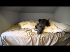 Owner Wants Him Off The Bed. Great Dane's Goofy Response Is Priceless. | Canine Distractions