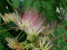 ネムの花。
