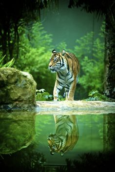 Tiger and reflection, Adelaide Zoo. (by Ian_in_Melbourne) Beautiful Cats, Animals Beautiful, Beautiful Scenery, Wildlife Photography, Animal Photography, Animals And Pets, Cute Animals, Save The Tiger, Tiger Pictures