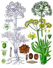 Ferula assa-foetida Asafoetida ] is the dried latex (gum oleoresin) exuded from the rhizome or tap root of several species of Ferula, native to Iran & Afghanistan. used as a digestive aid, in food as a condiment, and in pickling Healing Herbs, Medicinal Herbs, Holistic Healing, Natural Healing, Ayurveda, Permaculture, Lentil Dishes, Jpg, Alternative Medicine
