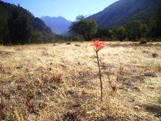 Una delicada flor de Añañuca, enmarcada por los Cordillera de los Andes, en Las Mulas, Linares, Chile.