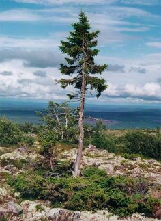 Old Tjikko (Sweden) #    #The world's oldest known living tree sprouted sometime during the last Ice Age, roughly 9,550 years ago. This 16-foot spruce in the Dalarna province of Sweden may look more like a Charlie Brown Christmas Tree, but don't be fooled: this little guy's root system got started back when the British Isles were still connected to Europe by an ice bridge. According to Wired, geologist Leif Kullman, who discovered the tree, named it after his dead dog.