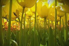 """pagewoman: """" Tulips by Dewi Baggerman (11 years old) """""""