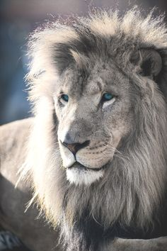 """ Lion Portrait by Eric Kilby // Edited by MFL """