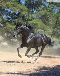 Your one-stop Lusitano portal. Lusitano horses for sale, information about Lusitanos, dressage and show events, news and a whole world of detail about this fabulous breed of horses. Most Beautiful Animals, Beautiful Horses, Beautiful Creatures, Black Horses, Wild Horses, Andalusian Horse, Friesian Horse, Arabian Horses, Horse Photos