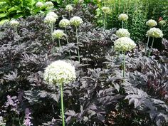 Using black plants in a gardenActaea simplex var. 'Black Negligee'  Zone: 3-9  Light: Sun to partial shade  Plant Type: Herbaceous Perennial  Size: Can get to 6' tall (including flower stem) and about 1.5' wide.