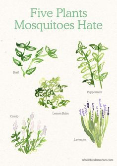 5 easy to grow plants that repel mosquitoes. So useful in a small family garden to keep bugs away when children and adults are in the garden. 5 easy to grow plants that repel mosquitoes. So useful in a small family garden to keep Organic Gardening, Gardening Tips, Balcony Gardening, Gardening Books, Urban Gardening, Gardening Supplies, Keeping Mosquitos Away, Keep Bugs Away, Herb Garden Design