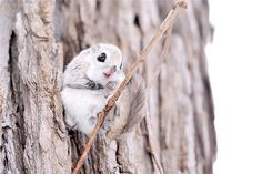 Siberian Flying Squirrel. - Imgur