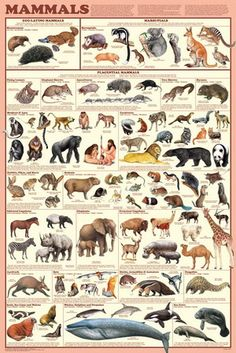 Mammals Educational Science Chart Poster Education Poster - 61 x 91 cm Amphibians, Mammals, Science Chart, Animals And Pets, Cute Animals, Strange Animals, Animal Reiki, Animal Posters, Animal Kingdom