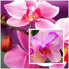 pestovanie-orchidei-klikajtesk