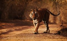 Love this photo of a tiger taken in Bandhavgarh National Park, India - great job photographer.  I'm jealous