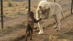 This labrador was hanging out with the lion at the Black Jaguar White Tiger Foundation In Mexico City, when the lion took his paw and appeared to kiss it.