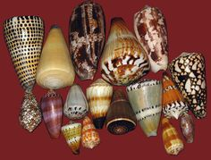 Many cone snails have beautiful colorful shells marked with vivid abstract patterns.  Some of the most valuable shells ever came from cone snails–which continue to fascinate conchologists and shell collectors.  Even today divers and beach combers are sometimes overwhelmed by the beauty of cone snails and reach out to grab the lovely creatures.  Hopefully this article has convinced you that doing so is a very bad idea.