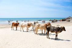 COW BEACH, ÍNDIA As vacas são animais sagrados na Índia e estão por todos os lugares do país, incluindo esta praia em Goa, região que já foi de domínio português. Para tomar sol e se banhar, é preciso estar disposto a dividir o local com elas.