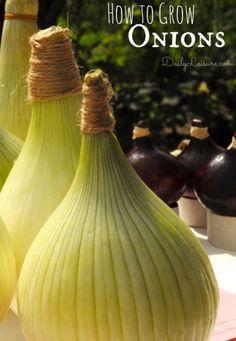 How to Grow Onions #gardening #onions #gardentips http://livedan330.com/2014/11/01/grow-onions/