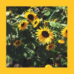 #желтый #подсолнух #sunflower #yellow #summer