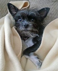 Bella the Terrier Mix -- Dog Breed: Chihuahua / Scottish Terrier