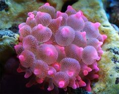 Rose bubble tip sea anenome