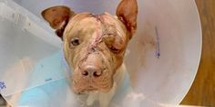 Ollie was an innocent pit bull stabbed more than 50 times. His attacker has repeatedly abused animals. Demand justice now! (20018 signatures on petition)