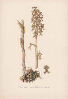 1950's Botanical Print Bird's-nest Orchid by AntiquePrintGarden