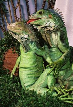 awkward iguana family portrait....World Wildlife Fund ...Protects exotic animals world wide ...please join their org today :)