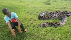 Wow! Brave Boy Catch Big Snake At The Field - How To Catch Huge Snake at Battambang, Cambodia