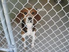 #FLORIDA #U ~ 1018018 BAMBI is a small #adopted Beagle dog in #Brooksville.  ** HI-KILL HEART-STICK SHELTER -- 5Omi N of Tampa** Included in the 50.00 #adoption fee are the following services at PetLuv Spay & Neuter Clinic- Spay/Neuter Rabies 4 in 1 vaccine & gen de-worming. 25.OO Refunded after proof of S/N provided to HERNANDO COUNTY ANIMAL SERVICES   19450 Oliver Street, Brooksville FL 34601  P 352 796-5062 ac@co.hernando.fl.us scaskie@co.hernando.fl.us