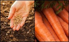 page Carrots, Vegetables, Outdoor, Gardening, Decor, Outdoors, Decoration, Lawn And Garden, Carrot