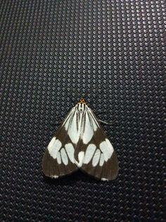 Nyctemera coleta coleta (Lepidoptera: Arctiidae)