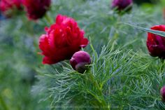 """Double fern leaf peony (Paeonia tenuifolia """"Plena"""") Plant Containers, Container Plants, Patio Ideas, Outdoor Ideas, Paeonia Tenuifolia, Good Morals, Ferns, Agriculture, Garden Plants"""