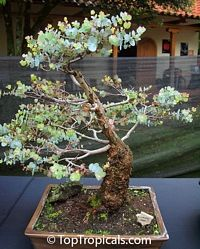 Bonsai Eucalyptus - Amazing