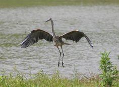 Gallery of Blue Heron   Ohio Bird Photo Collection: Great Blue Heron Landing